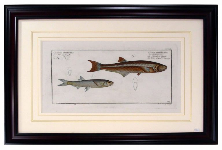 The Silver Striped Herring from Ichithyologi, Ou Histoire Naturelle, Generale Et Particuliere, Des Poissons