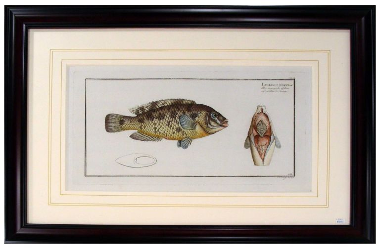 The Snapper from Ichithyologi, Ou Histoire Naturelle, Generale Et Particuliere, Des Poissons. Marcus Bloch.