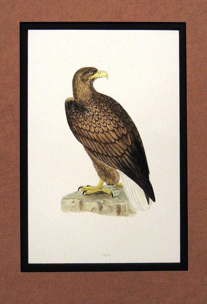 Print of a Erne from A History of British Birds. Alexander Francis Lydon.