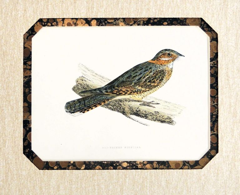 Print of a Red-Necked Nightjar from A History of British Birds. Francis Orpen Morris, Alexander Francis Lydon, engraver.