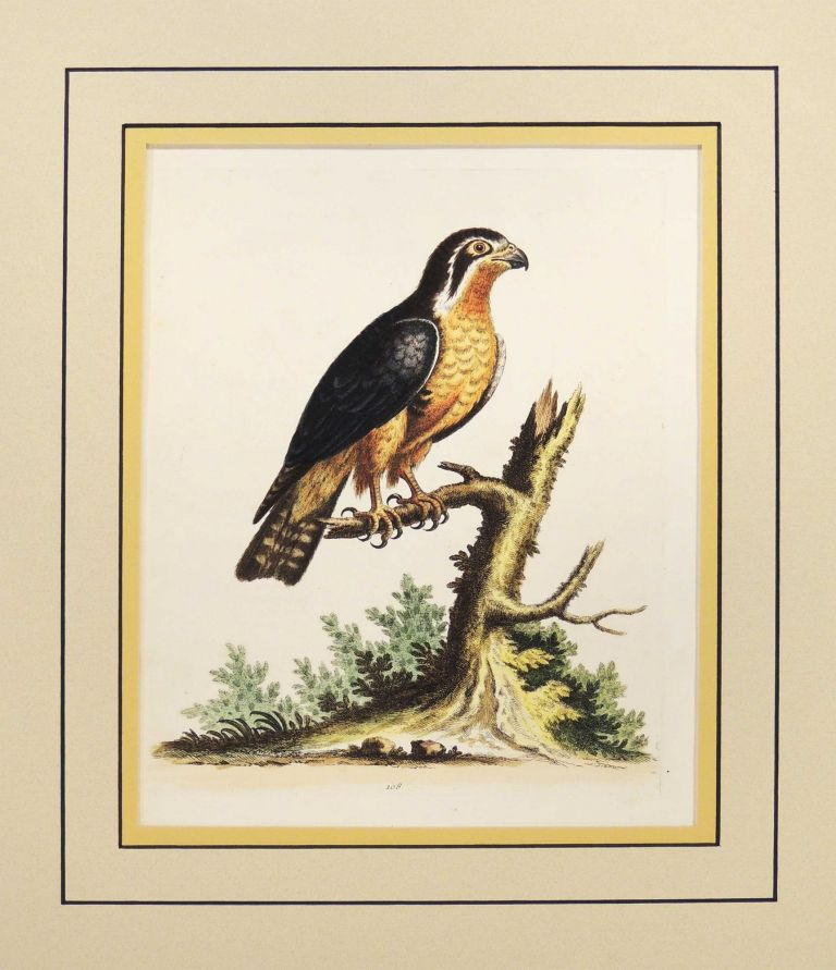 Little Black and Orange Colored Indian Hawk. George Edwards.