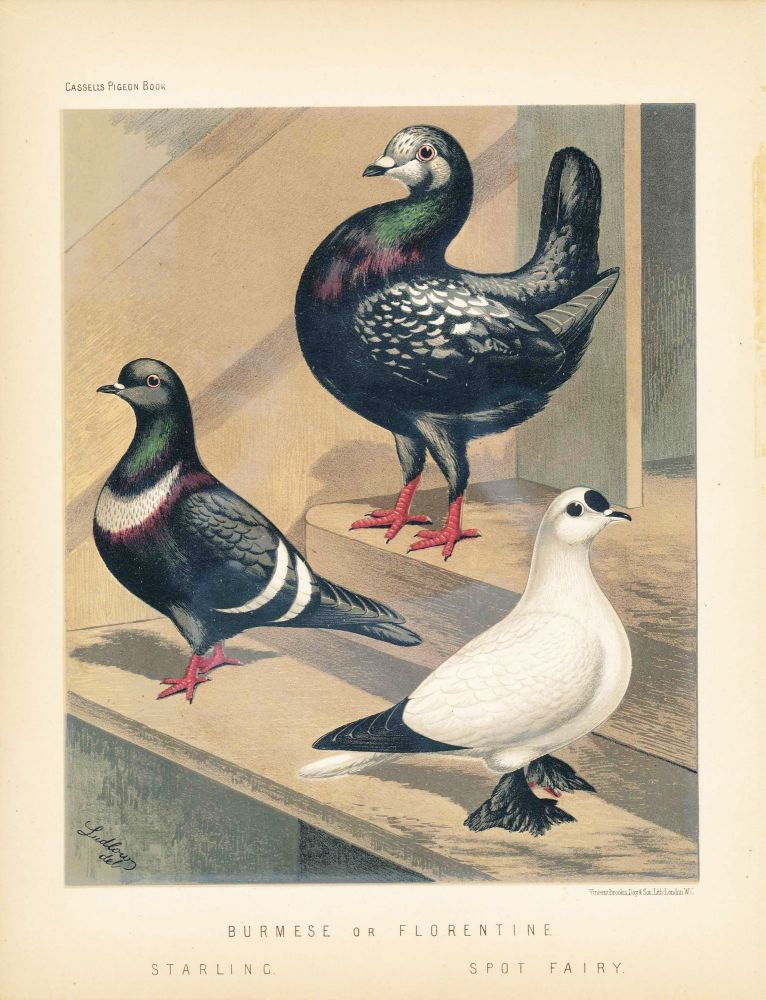 """Cassell's Pigeon Book - """"Burmese or Florentine / Starling and Spot Fairy"""" Pigeons. Cassell, Lewis Wright, J W. Ludlow, artist."""