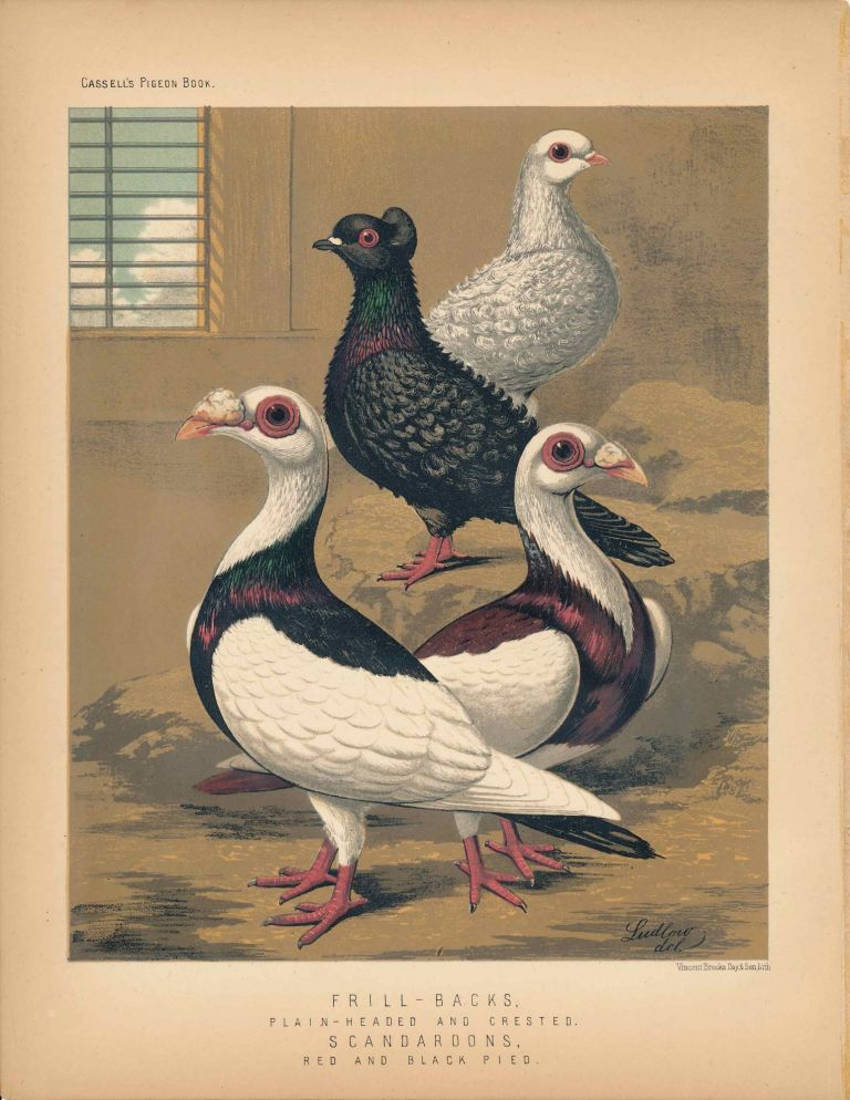 """Cassell's Pigeon Book - """"Frill-Backs, Plain-Headed and Crested. Scandaroons, red and black pied"""" Pigeons. Cassell, Lewis Wright, J W. Ludlow, artist."""