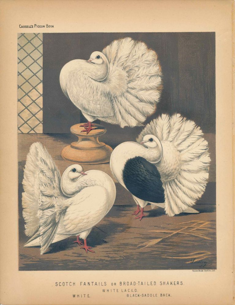 """Cassell's Pigeon Book - """"Scotch Fantails or Broad-tailed Shakers. White Laced, White, Black-Saddle Back"""" Pigeons. Cassell, Lewis Wright, J W. Ludlow, artist."""