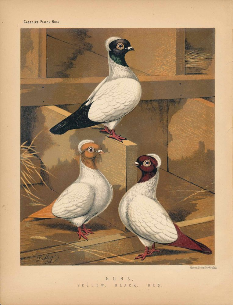 """Cassell's Pigeon Book - """"Nuns, Yellow, Black, Red"""" Pigeons. Cassell, Lewis Wright, J W. Ludlow, artist."""