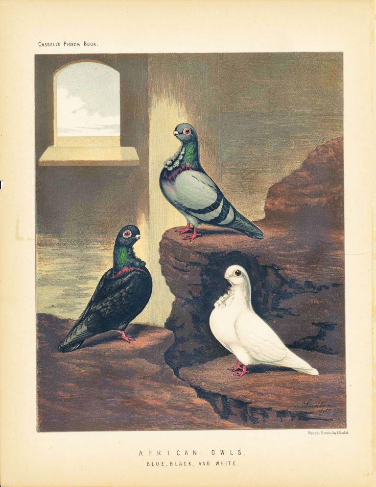 "Cassell's Pigeon Book - ""American Owls, Blue, Black, and White"" Pigeons. Cassell, Lewis Wright, J W. Ludlow, artist."