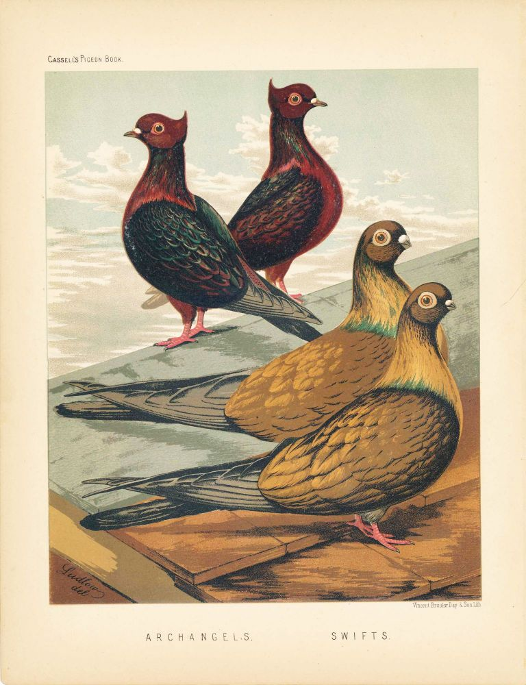 """Cassell's Pigeon Book - """"Archangels and Swifts"""" Pigeons. Cassell, Lewis Wright, J W. Ludlow, artist."""