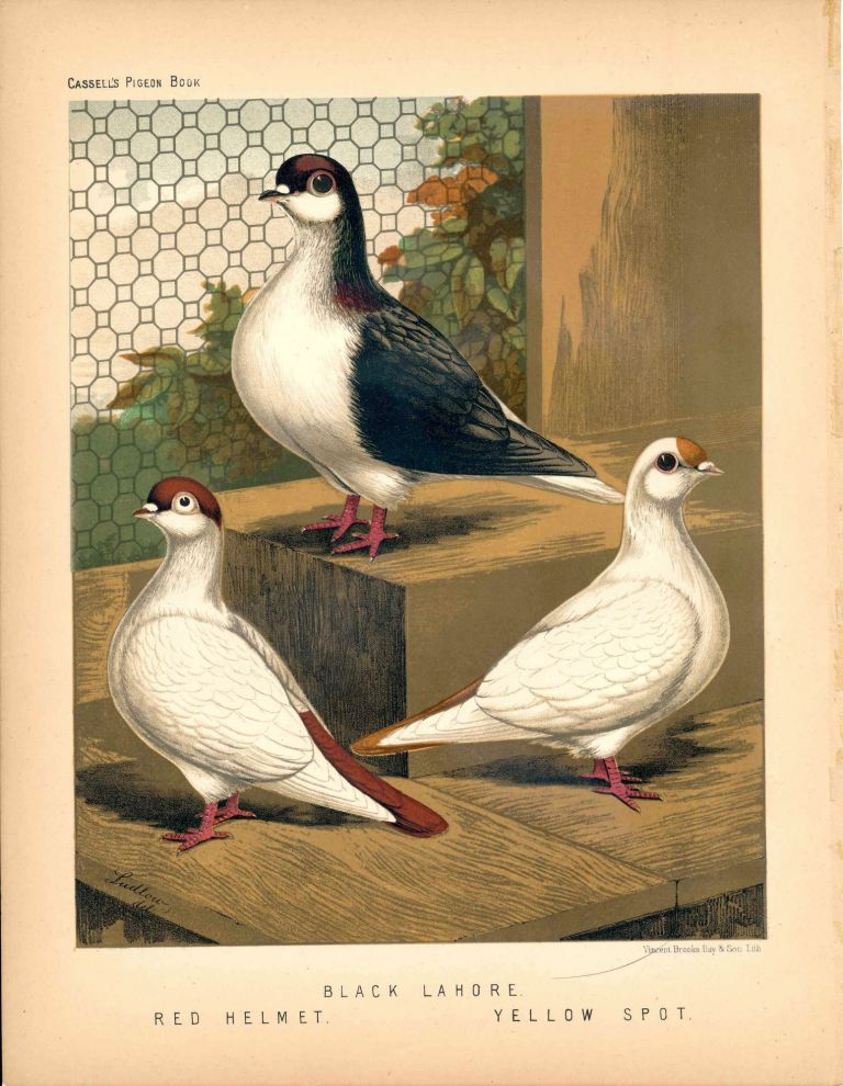 """Cassell's Pigeon Book - """"Black Lahore. Red Helmet. Yellow Spot"""" Pigeons. Cassell, Lewis Wright, J W. Ludlow, artist."""