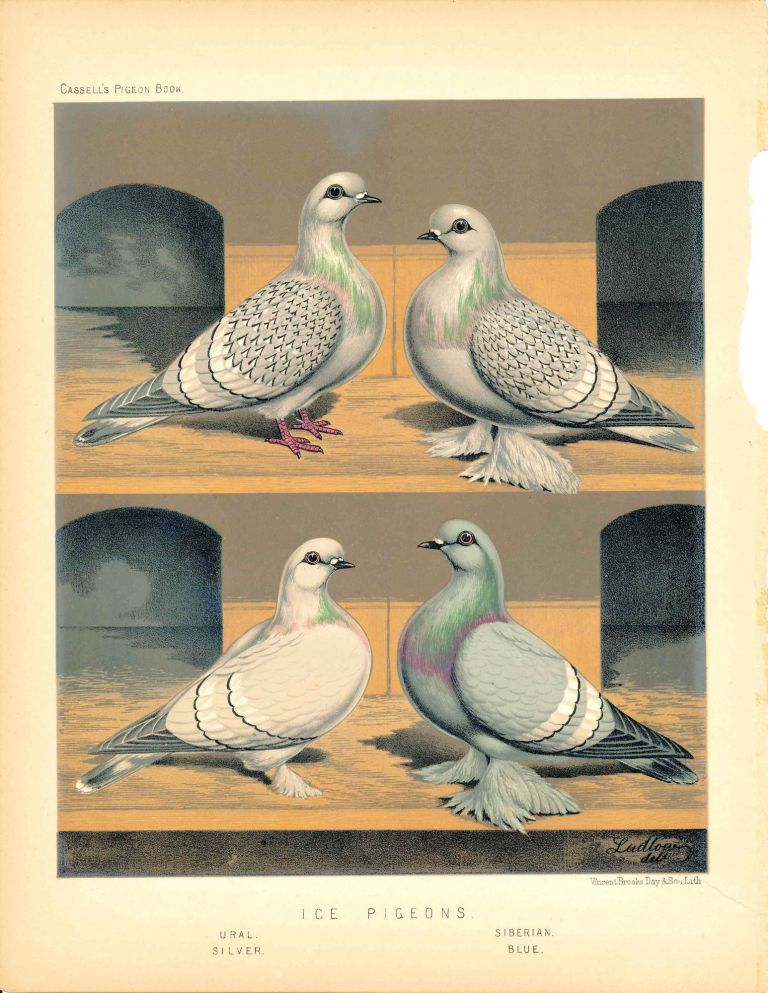 "Cassell's Pigeon Book - ""Ice Pigeons: Ural, Silver, Siberian, Blue"" Pigeons. Cassell, Lewis Wright, J W. Ludlow, artist."