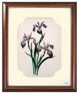 Iris Print from Flowers and Ferns of America. A. B. Henry.