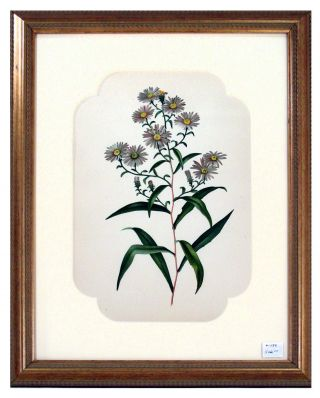 Aster Print from Flowers and Ferns of America. A. B. Henry.