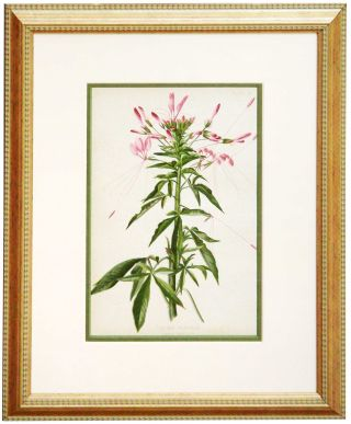 Leaf from The Native Flowers and Ferns of the United States. Thomas Meehan.