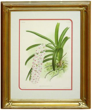 Orchid: Linden Lindenia Orchid Print from Iconographic des Orchidees. Jean Linden.