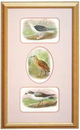 Great Black-Backed Gull, Land Rail, and White Bellied Petrel Prints framed together - from a...