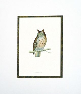 Mottled Owl Print from A History of British Birds. Alexander Francis Lyon