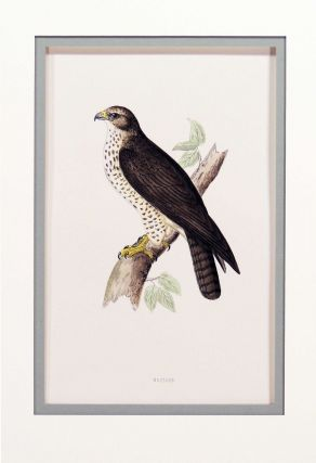 Print of a Buzzard from A History of British Birds. Alexander Francis Lydon