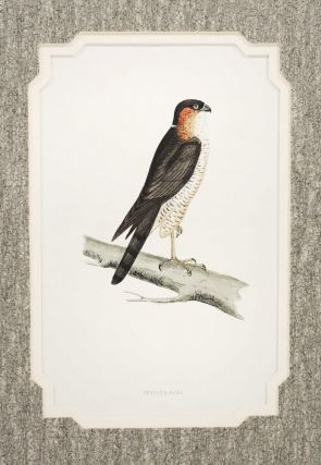 Print of a Sparrow-Hawk from A History of British Birds. Alexander Francis Lydon