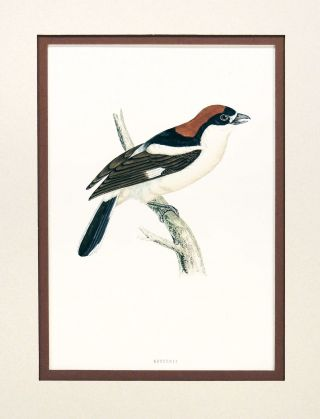 Print of a Woodchat from A History of British Birds. Rev. Francis Orphen Morris, Alexander...
