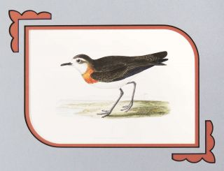 Print of an Asiatic Dotterel from A History of the Birds of Europe. M. D. Bree, Charles Robert, F. Z. S.