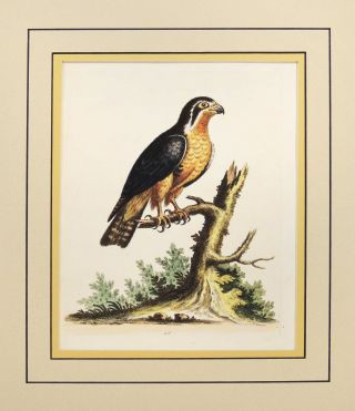 Little Black and Orange Colored Indian Hawk. George Edwards