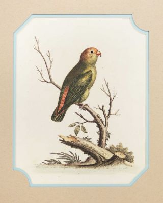 Smallest Green and Red Indian Parakeet. George Edwards.