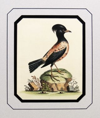 Rose or Carnation Colored Ouzel of Aldrov. George Edwards
