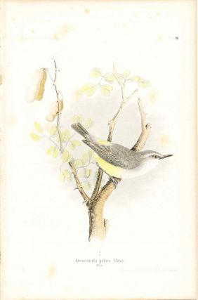 Bird print - Eremomela griseo - flava (Plate XII ONLY) from Ornithologie Nordost-Afrika's. M. Th....