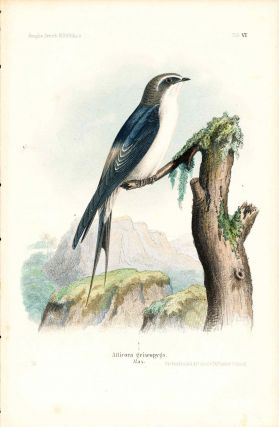 Bird print - Atticora griseopyga (Plate VI ONLY) from Ornithologie Nordost-Afrika's. M. Th. von...