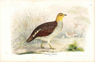 Bird print - Francolinus Schlegelii (Plate XXXV ONLY) from Ornithologie Nordost-Afrika's. M. Th....