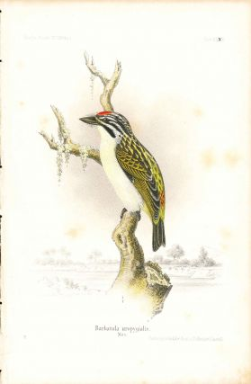 Bird print - Barbatula uropygialis (Plate XXXIII ONLY) from Ornithologie Nordost-Afrika's. M. Th....