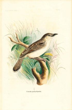 Bird print - Cisticola pachyrhyncha (Plate VII ONLY) from Ornithologie Nordost-Afrika's. M. Th....