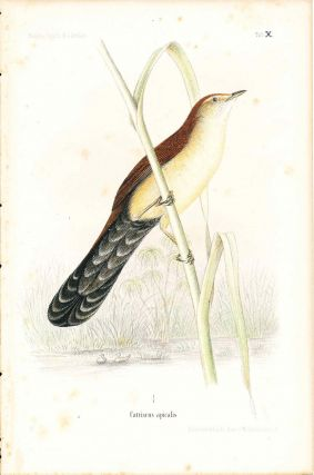 Bird print - Catriscus apicalis (Plate X ONLY) from Ornithologie Nordost-Afrika's. M. Th. von...