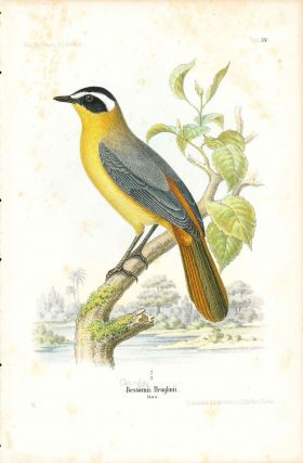 Bird print - Bessorms Heuglinii (Plate XV ONLY) from Ornithologie Nordost-Afrika's. M. Th. von...