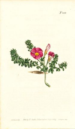 Plate No. 1031 - Oxalis Rubella. Red-Flowered Oxalis - from Curtis's Botanical Magazine, Volume...
