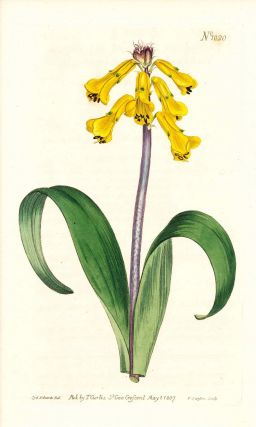 Plate No. 1020 - Lachenalia Tricolor, Yellow-Flowered Lachenalia - from Curtis's Botanical...