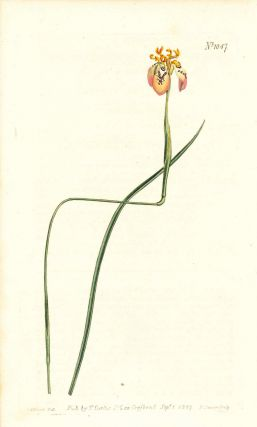 Plate No. 1047 - Moraea Tenuis. Brown-Flowered Moraea - from Curtis's Botanical Magazine, Volume...
