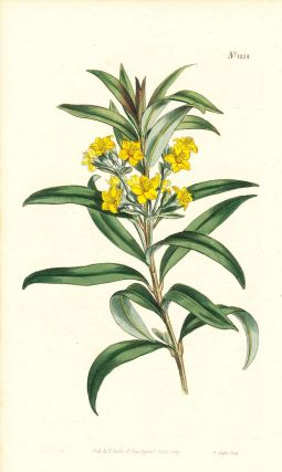 Plate No. 1058 - Melaleuca Neriifolia. Oleander-Leaved Melaleuca - from Curtis's Botanical...