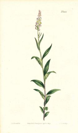 Plate No. 1051 - Polygala Senega. Officinal Milk-Wort, or Rattle-Snake-Root - from Curtis's...
