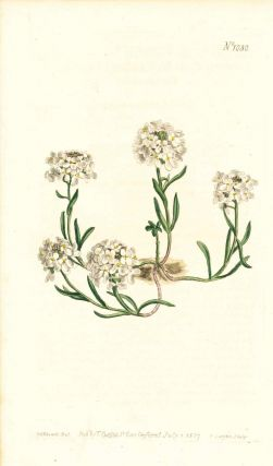 Plate No. 1030 - Iberis Ciliata. Ciliate-Leaved Candytuft - from Curtis's Botanical Magazine,...