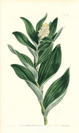 Plate No. 1043 - Convallaria Stellata. Star-Flowered Solomon's Seal - from Curtis's Botanical...