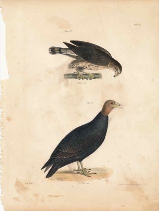 Bird print - Plate 5 from Zoology of New York, or the New-York Fauna. James Ellsworth De Kay, J....