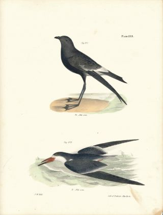 Bird print - Plate 123 from Zoology of New York, or the New-York Fauna. James Ellsworth De Kay,...