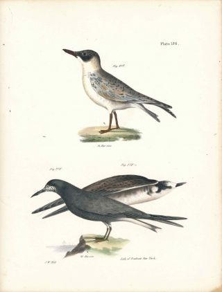 Bird print - Plate 126 from Zoology of New York, or the New-York Fauna. Part II Birds. James E....