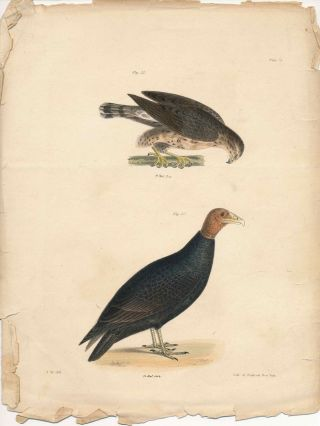 Bird print - Plate 5 from Zoology of New York, or the New-York Fauna. Part II Birds. James E. De...