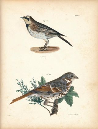 Bird print - Plate 73 from Zoology of New York, or the New-York Fauna. Part II Birds. James E. De...
