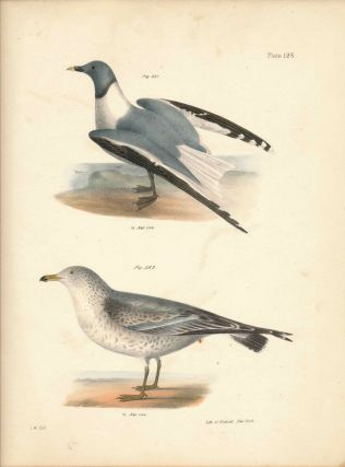 Bird print - Plate 128 from Zoology of New York, or the New-York Fauna. Part II Birds. James E....