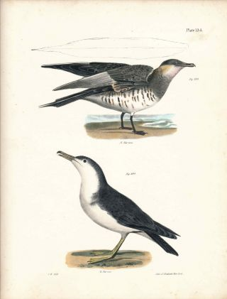 Bird print - Plate 134 from Zoology of New York, or the New-York Fauna. Part II Birds. James E....