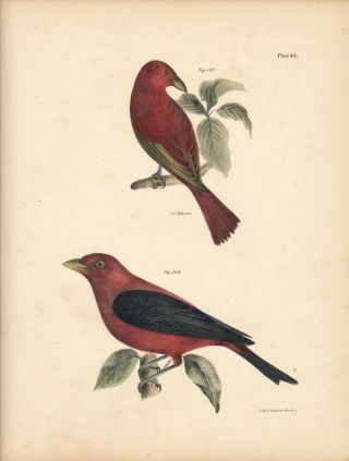 Bird print - Plate 65 from Zoology of New York, or the New-York Fauna. Part II Birds. James E. De...