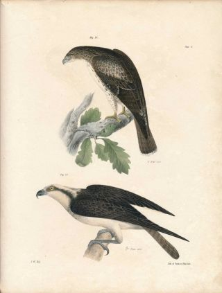 Bird print - Plate 8 from Zoology of New York, or the New-York Fauna. Part II Birds. James E. De...