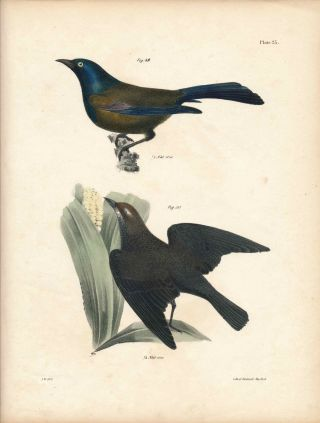 Bird print - Plate 23 from Zoology of New York, or the New-York Fauna. Part II Birds. James E. De...